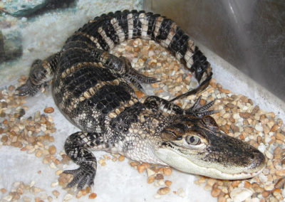 Alligator | Reptiles | Creation Critters | Lakeland