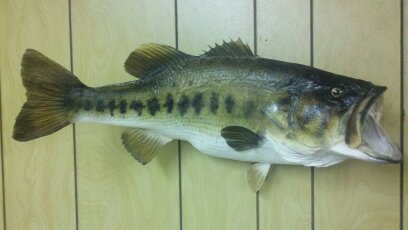 Bass from Lake Helene (Camp Gilead)