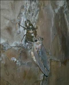 Cicada coming out of shell | Creation Discovery Trail | Creation Critters | Lakeland