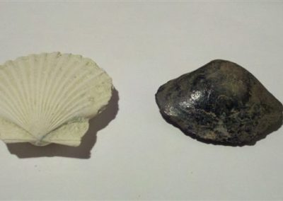 Fossilized clam and scallop