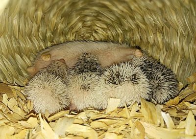 Hedgehog | Mammals | Creation Critters | Lakeland