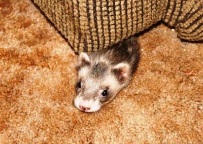 Ricky, the ferret, playing hide and seek!