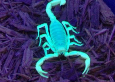 desert hairy scorpion under a black light